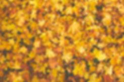 yellow-dry-maple-756903.jpg