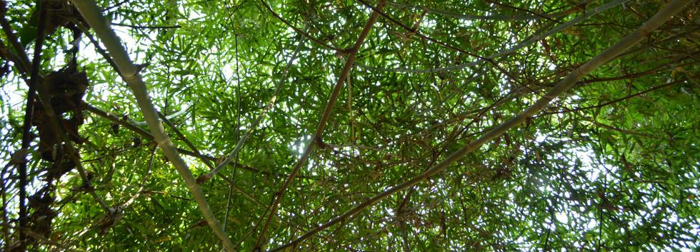 Dossel da floresta queimada com bambu