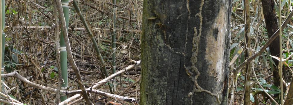 Cicatriz do fogo no tronco da árvore