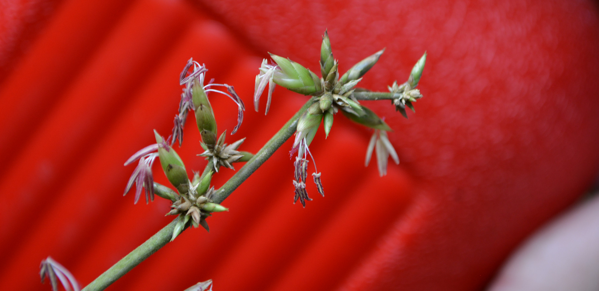 Flor do bambu