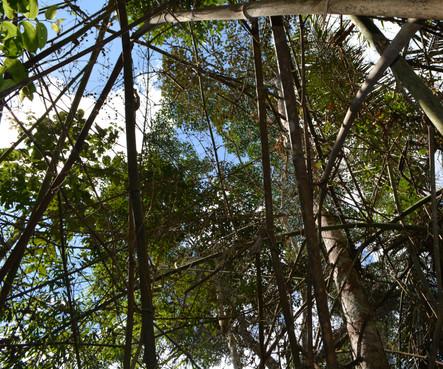 Dossel da floresta após morte do bambu