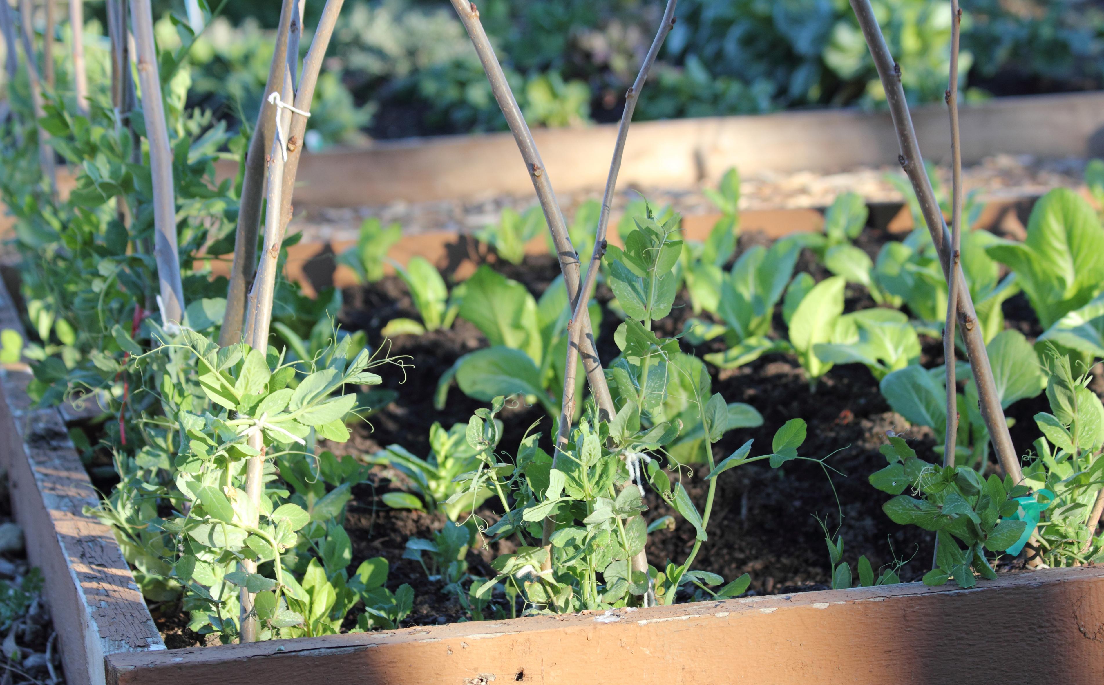 Petite Spring Crop