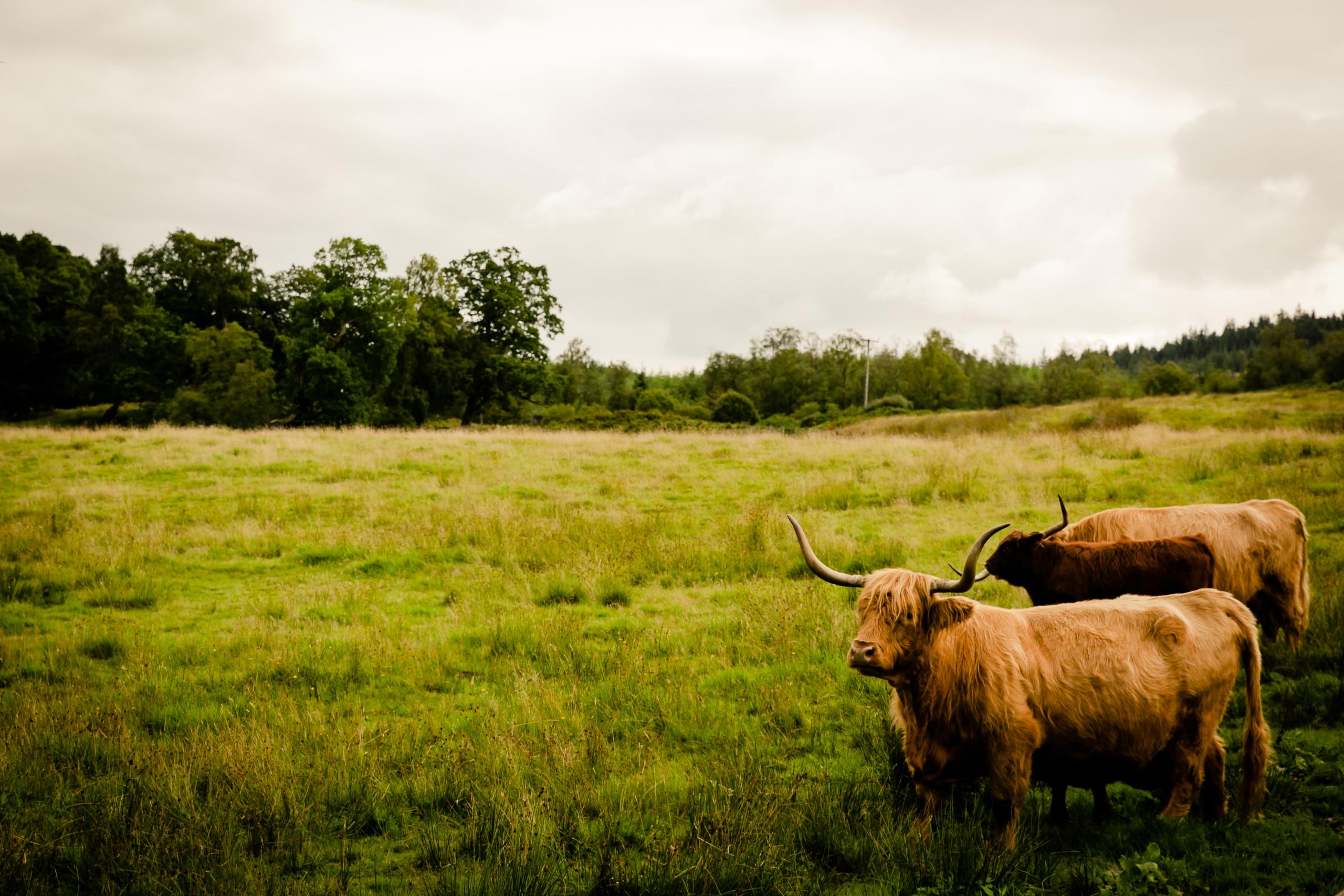 Scottish Highland cows. Cows, Scotland, landscapes, details