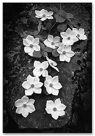 ansel-adams-dogwood-blossoms.jpg