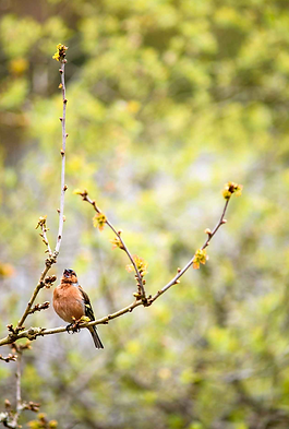Chaffinch singing in a bluebell woodland