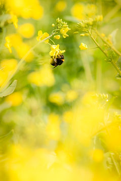 Bumble bee in yellow field of oil seed rape flowers in summer