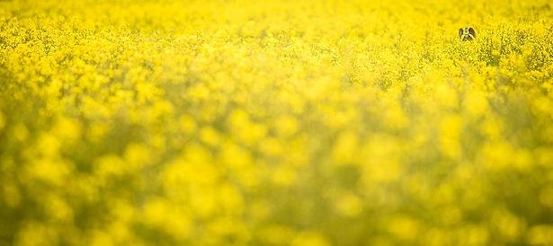 Skylark in yellow oil seed rape field