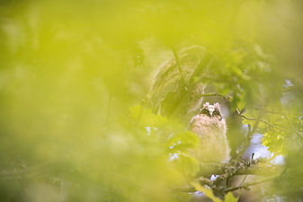 long eared owl chick on tree fashion nature wildlife photography portrait