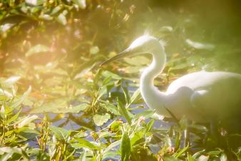 Little Egret at Guernsey reservoir