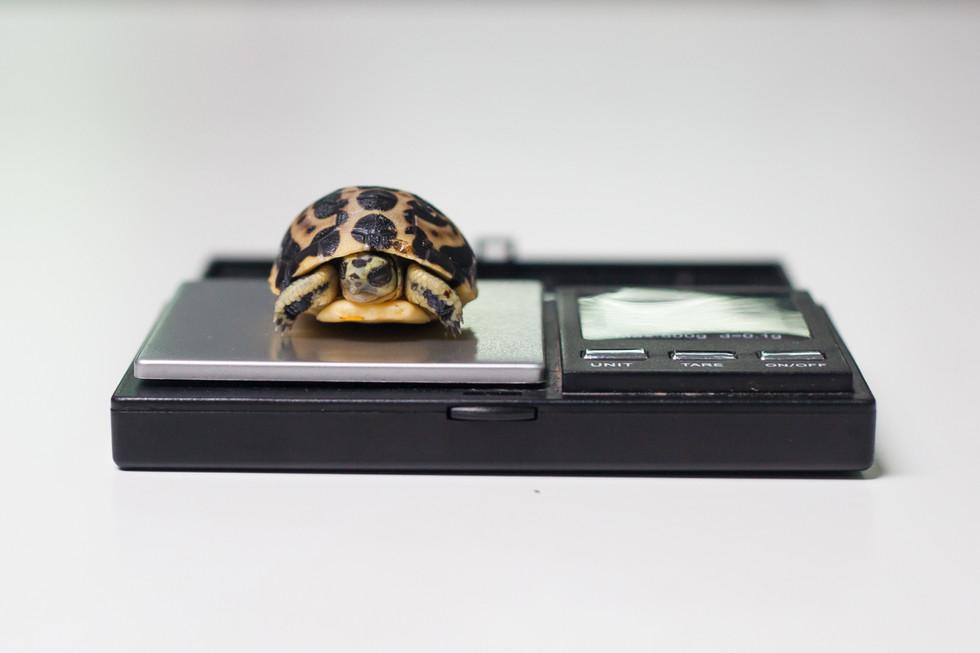 Spider Tortoise LR-2.jpg