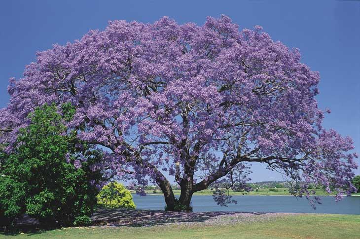 Jacaranda Mimoso