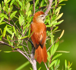 Barranqueiro-de-olho-branco