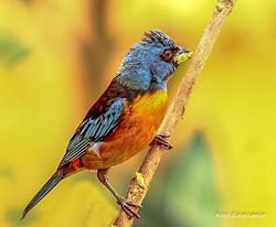 Sanhaçu-papa-laranja