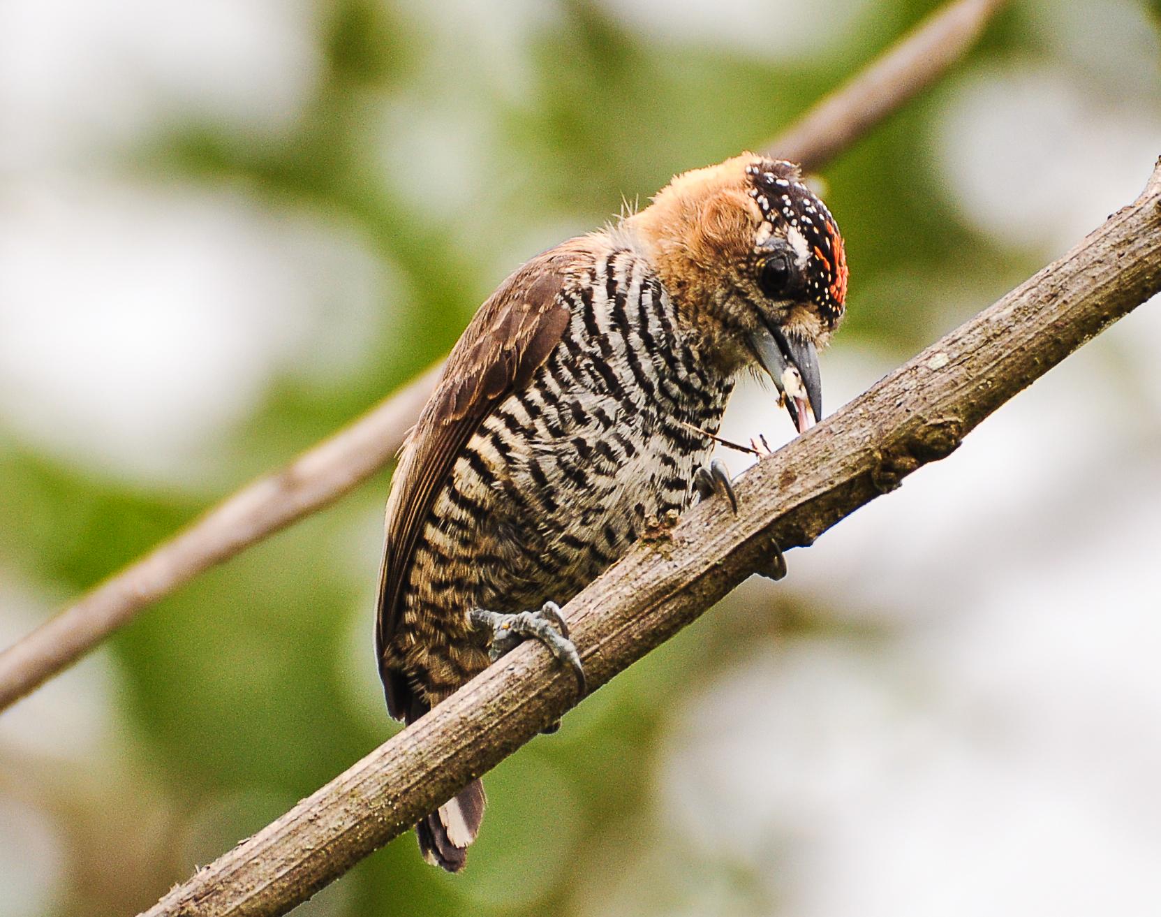pica-pau-anão-coleira
