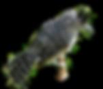 choca-barrada