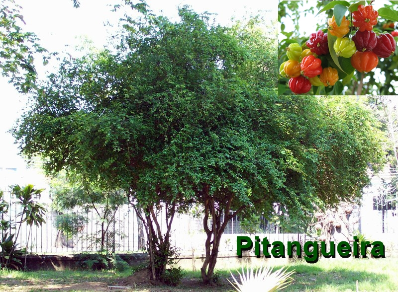 Pitangueira