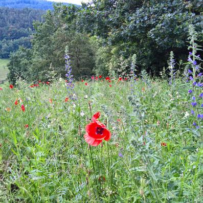 Blumenwiese statt Golfrasen