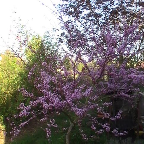 Cercis forest Pansy fleurs.JPG
