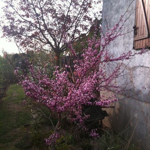 cercis forest pansy.jpg