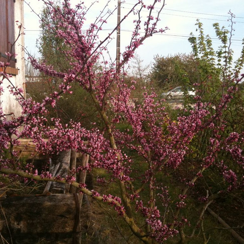 cercis forest pansy 2.jpg