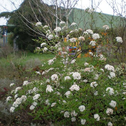 viburnum burkwoodii.JPG