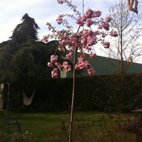 Prunus kiku shidare zakura.jpg