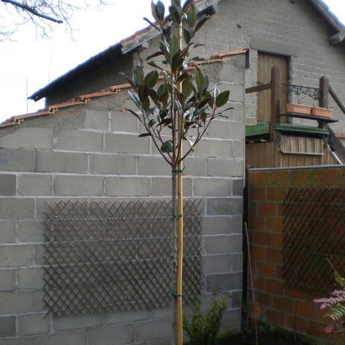 magnolia tige.JPG