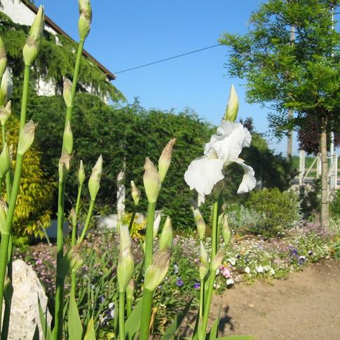 iris blanc.JPG