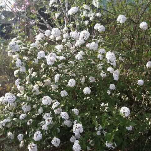 Viburnum burkwoodi.jpg
