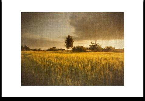 FIELDS OF GOLD  -  ART PAPER