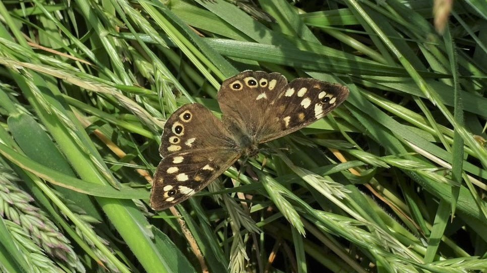 Speckled wood butterfly resting on long grass