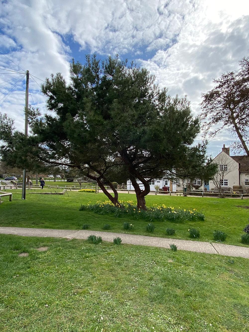 Fir tree in Selsey