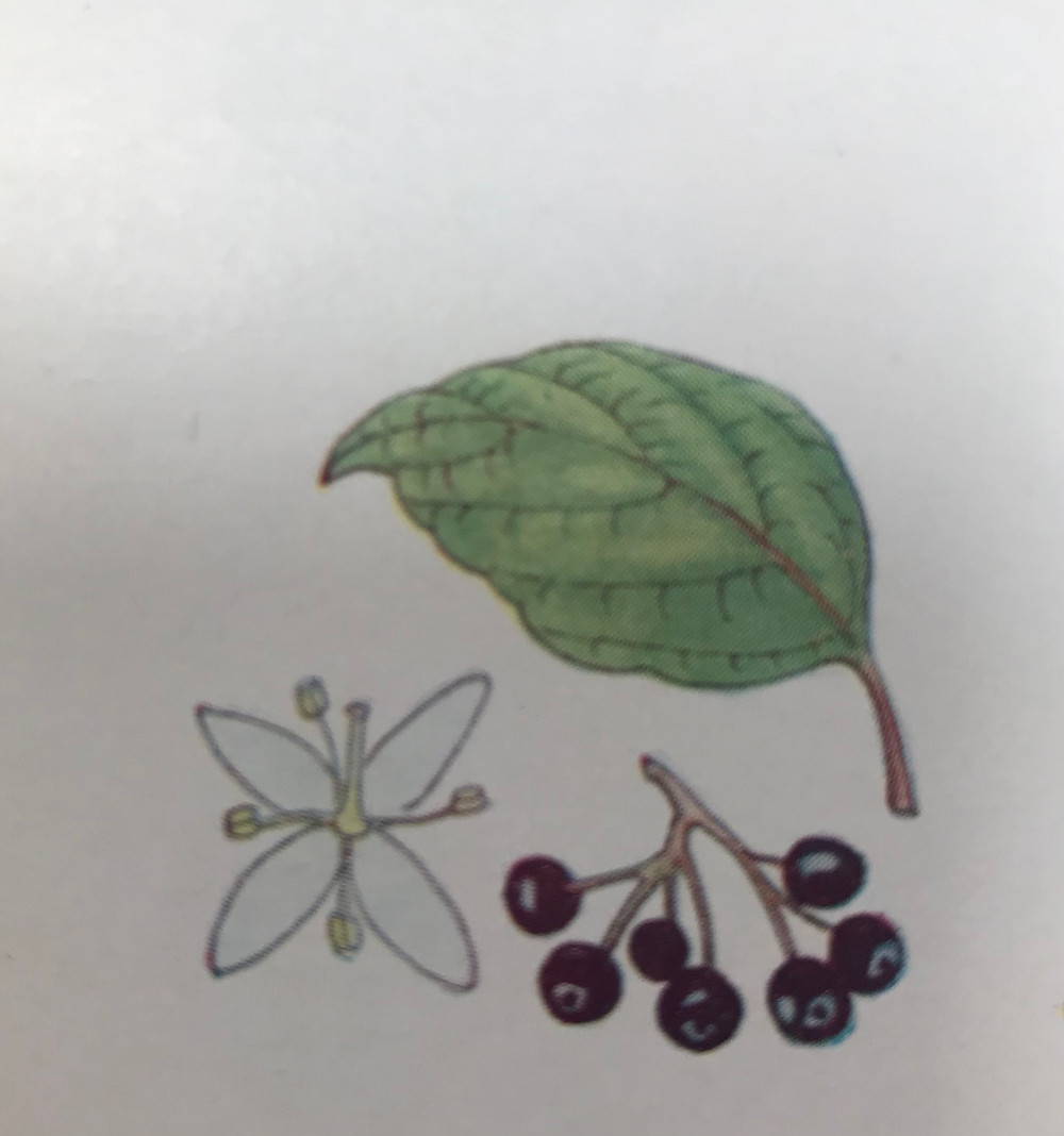 Drawing of Dogwood flower, leaf and fruit