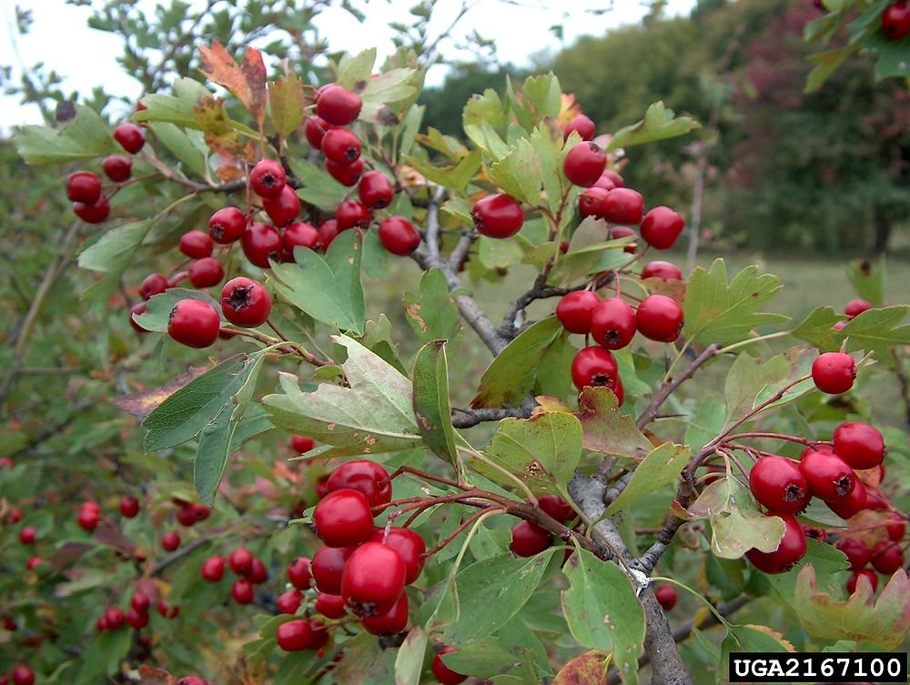 Hawthorn fruits berries