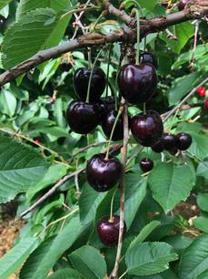 Danish Cherries - 3.jpeg