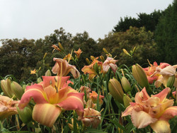 Summergarden Daylilies