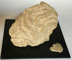 Specimen 3 with Fossil Accent