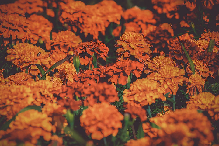 marigold-3502842_1920.jpg