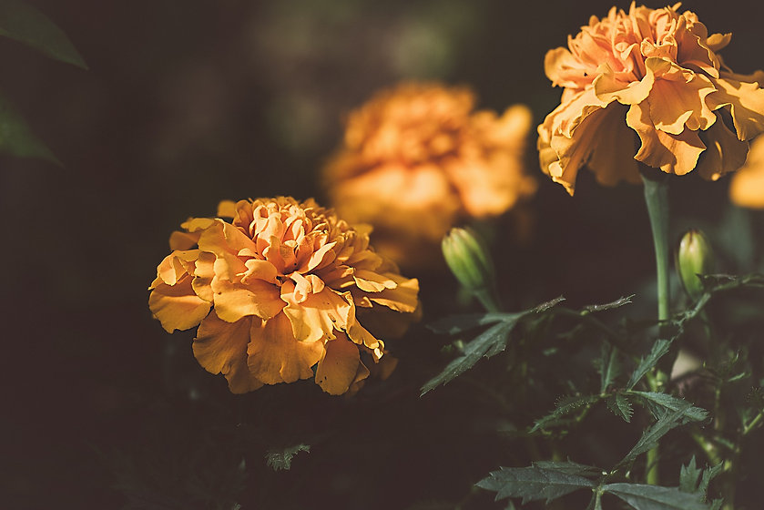 marigold-3331392_1920.jpg