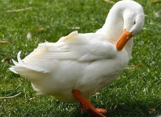 What Duck Breed Is Best For You?