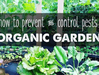 Natural Pest Control for Organic Gardens~ Using Companion Planting and Natural Sprays to Ward Off Th