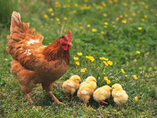 Use Chick Starter Feed for Growing Healthy Chicks