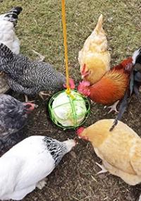 feeding-mixed-flock-scratch-peck-organic-200x284