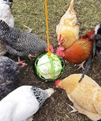 FEEDING A MIXED FLOCK WITH SCRATCH AND PECK ORGANIC FEED