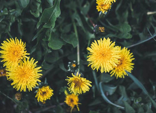 DANDELIONS ARE NOT WEEDS. THEY BUILD BONES BETTER THAN CALCIUM; CLEANSE THE LIVER AND HEAL ECZEMA AN