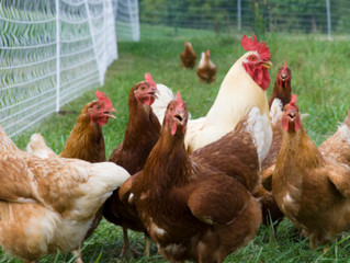 Chicken Management for the Fall Season