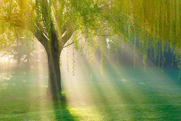 weeping willow pic.jpg