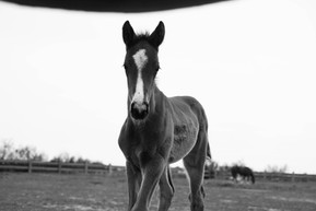 Vente chevaux de sport