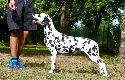 chienne dalmatienne