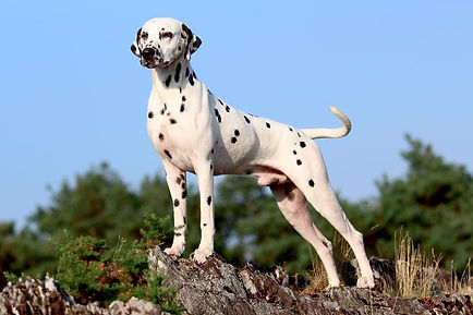 dalmatien comportement
